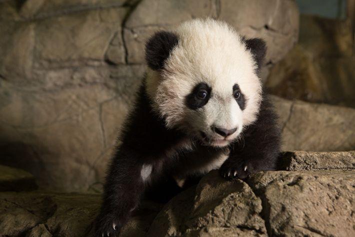 Además de su recién nacido, Mei Xiang también tiene otras tres crías vivas: Tai Shan, Bao ...