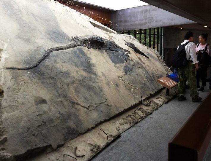 Esta imagen muestra el espécimen del ictiosaurio con el contenido de su estómago visible como un ...