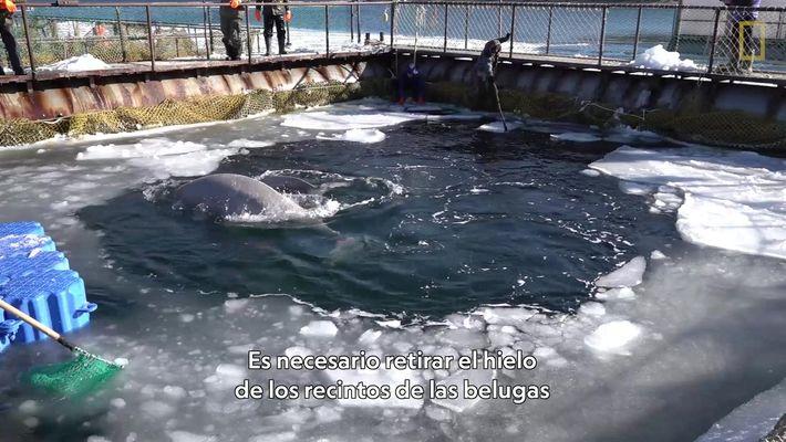 Unas 100 orcas y belugas cautivas corren peligro de ahogarse y morir congeladas