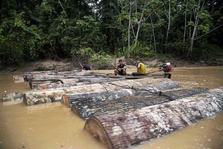 Hombres asháninkas hacen flotar árboles talados por el Río Putaya, cerca de la aldea de Saweto, ...