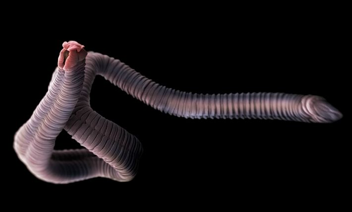 Las lombrices solitarias son parásitos que viven en los intestinos de los seres humanos y de ...
