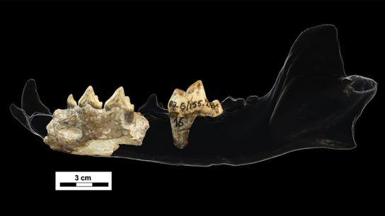 Estos dientes y fragmentos de mandíbula, descubiertos en Dmanisi de 1.8 millones de años de Georgia, ...
