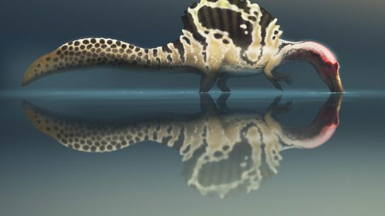 """¿Era el Spinosaurus un """"monstruo de río"""" que nadaba activamente? En el último debate científico de ..."""