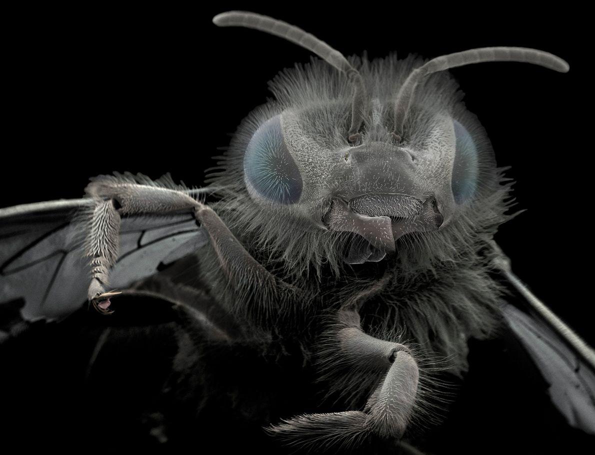 Wiik-Nielsen encontró a esta abeja en su jardín. Las estructuras en la base de su cabeza ...