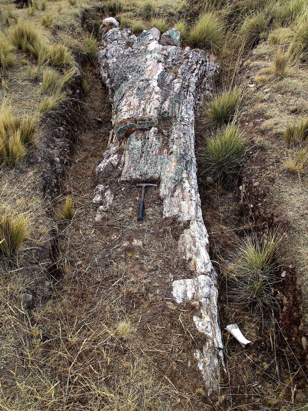 Árbol fósil del Mioceno de la familia Fabaceae (leguminosas). Con afinidad al género fósil Andiroxylon. Se ...