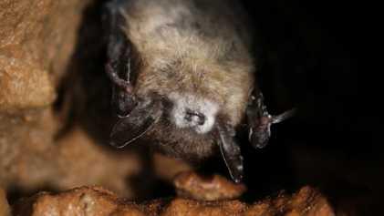 Síndrome de la nariz blanca: algunos murciélagos están mostrando inmunidad a una infección que ya ha ...