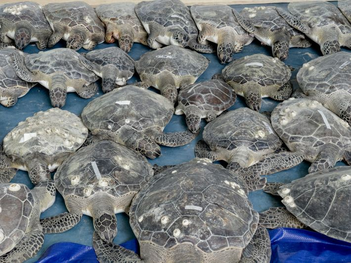 sea-turtles-texas-07