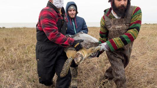 Rescatan a casi 5000 tortugas marinas de las frías aguas de la isla de Texas