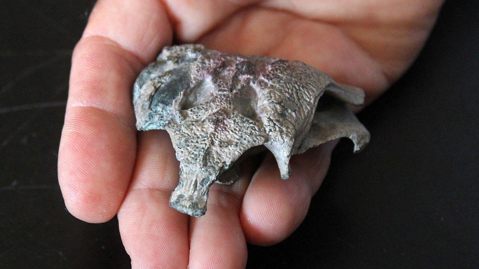 El cráneo de Burkesuchus mallingrandensis en relación a una mano humana.