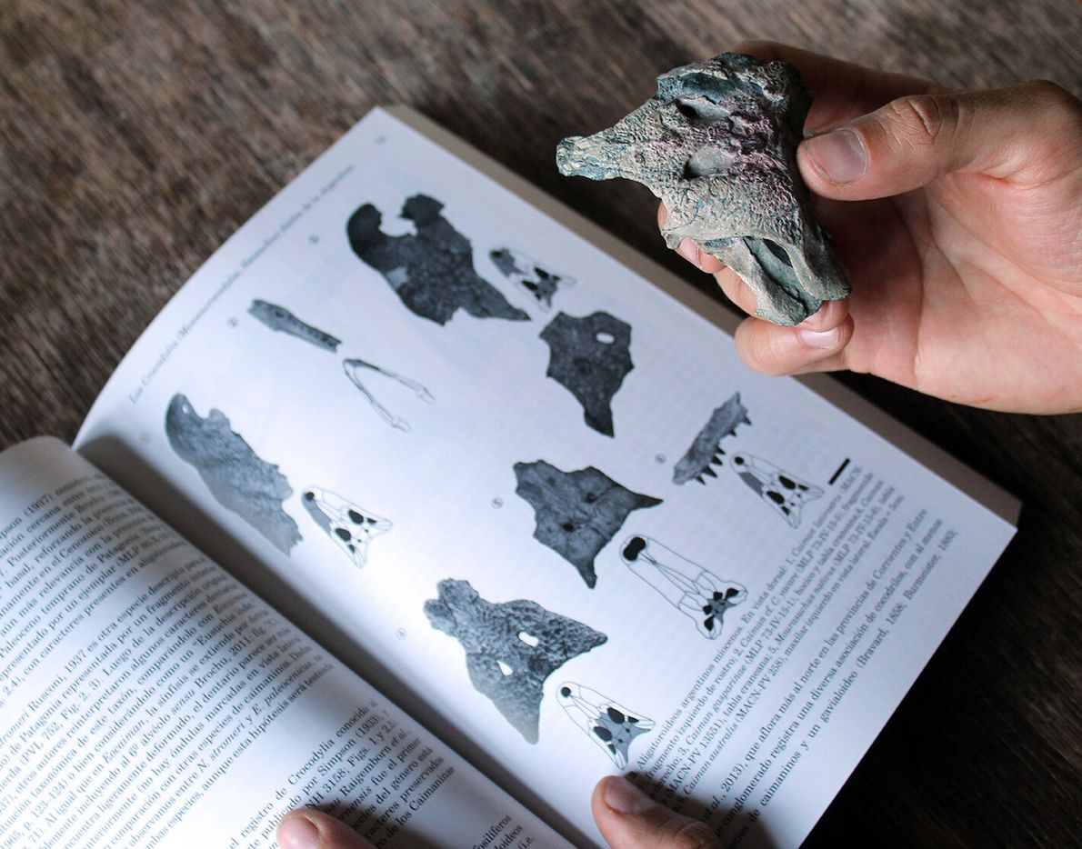 Burkesuchus_mallingrandensis_restos_fósiles2
