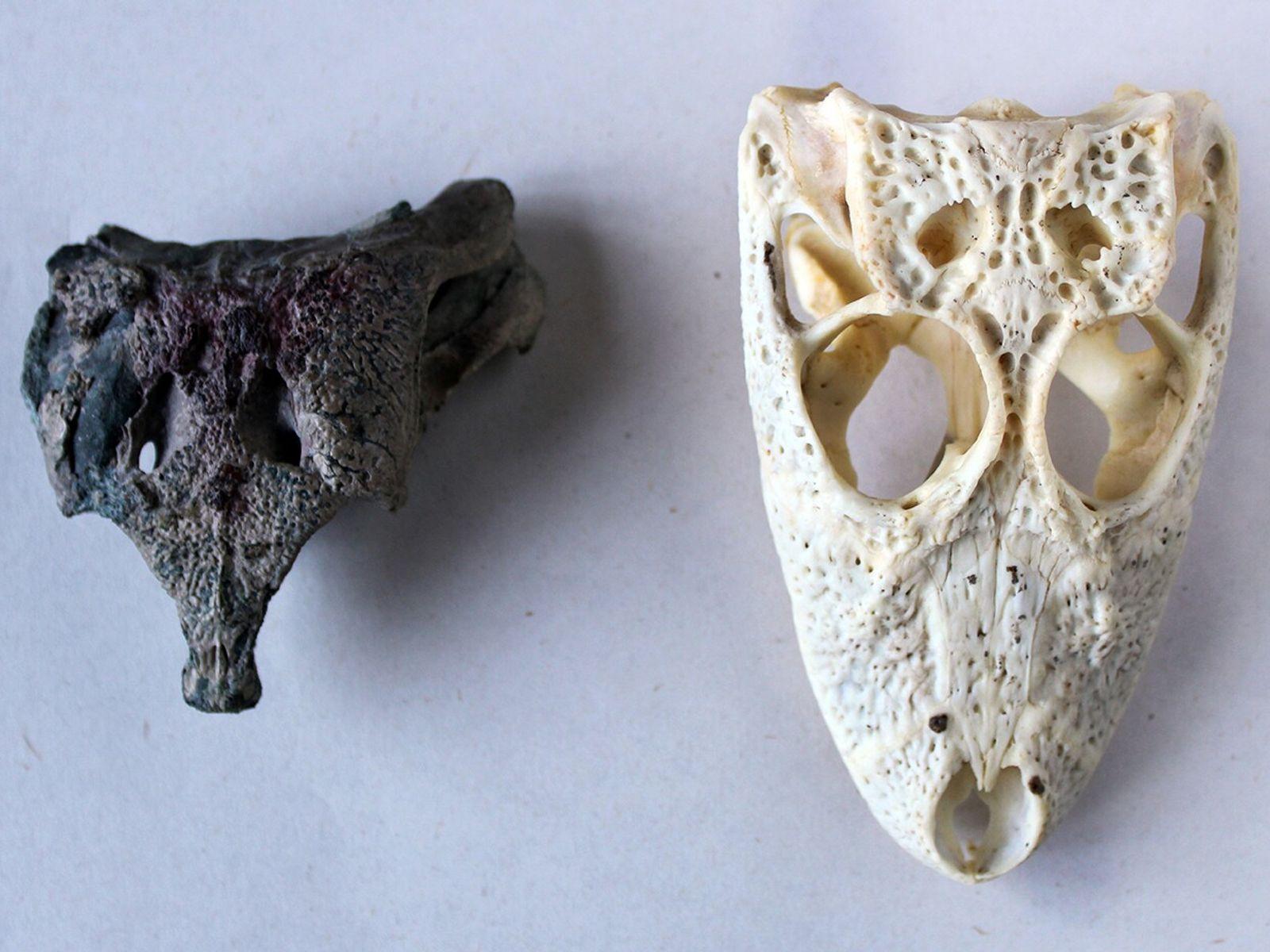 El cráneo de Burkesuchus mallingrandensis en relación al de un Yacaré (Caimán latirostris) juvenil.