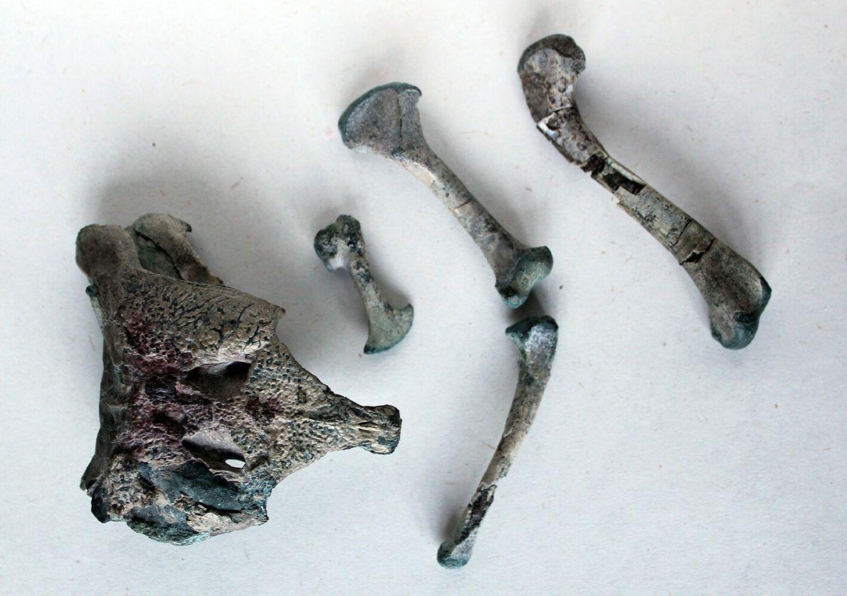 Algunos de los restos fósiles de Burkesuchus mallingrandensis.
