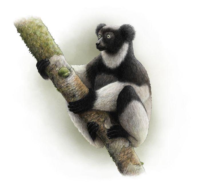 Un ejemplar de Indri indri, el lémur más grande del mundo, que se encuentra en peligro crítico ...