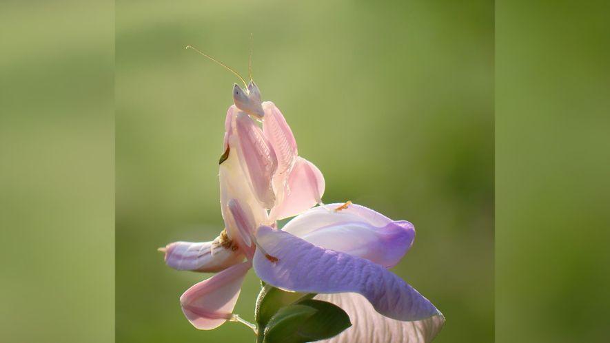 ¿Insecto o flor? Este insecto es un maestro del engaño