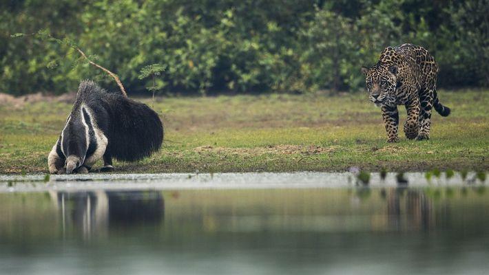 Un encuentro entre un oso hormiguero gigante y un jaguar toma un giro inesperado