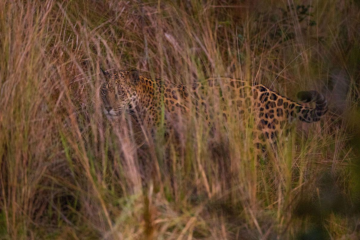 Un jaguar inspecciona el área en busca de una presa cubierto por las altas malezas del ...