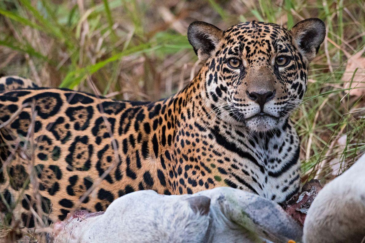 Un jaguar se alimenta de una vaca. A medida que los ranchos y las granjas invaden ...