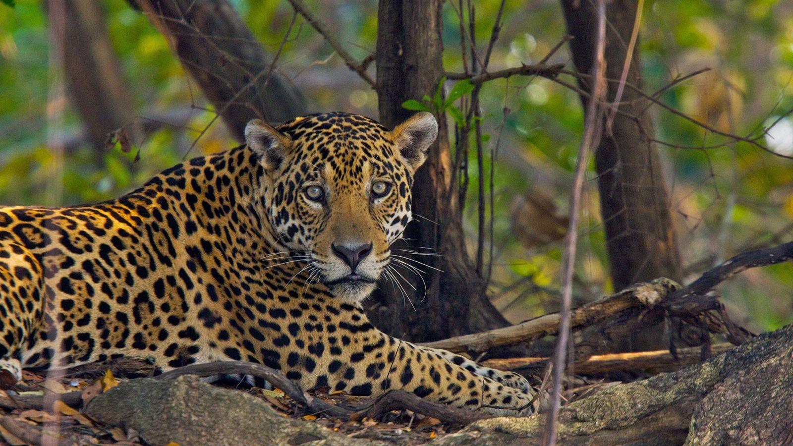 La caza furtiva y el tráfico de jaguares es un problema creciente en Surinam y a ...