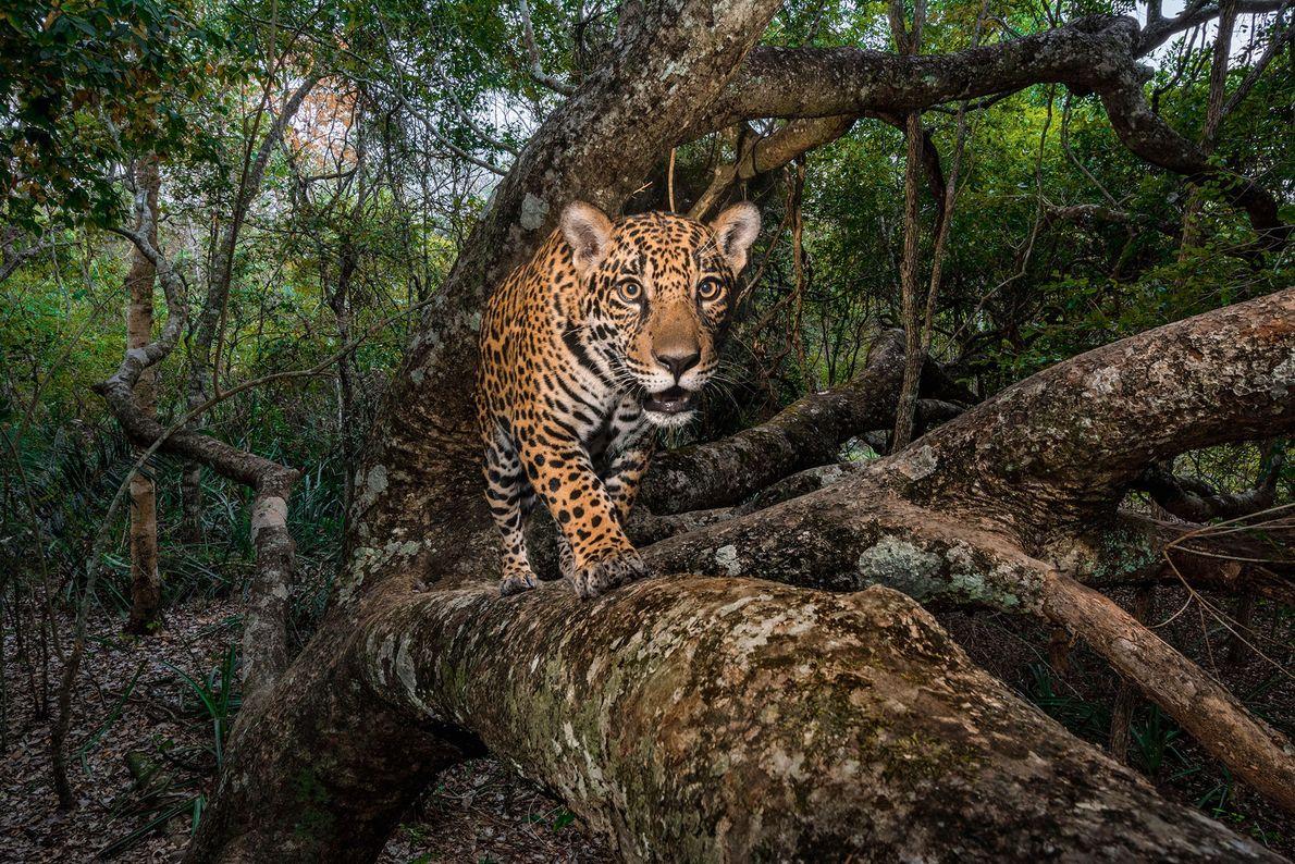Una cámara remota captura una imagen de un cachorro de jaguar de 10 meses en el ...