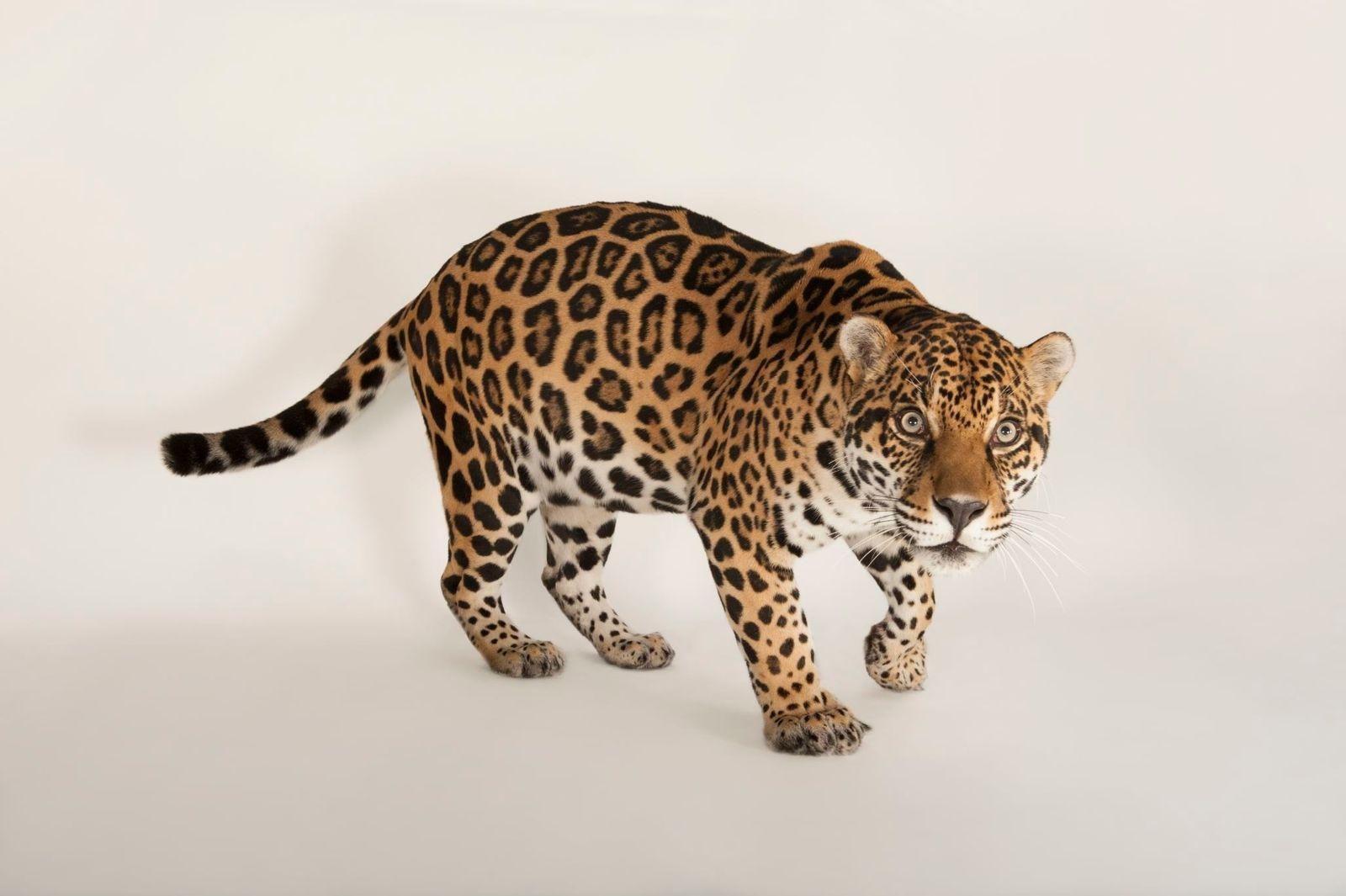 Los jaguares son los felinos más grandes de América. Esta foto fue tomada en el Omaha's ...