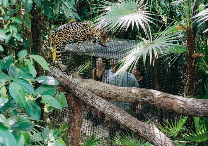 Turistas que ven al famoso jaguar, Junior Buddy, en el zoológico de Belice.