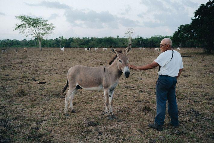 Napoleón, el burro guardián, en la granja de Juan Herrera, en el centro de Belice. Napoleón ...
