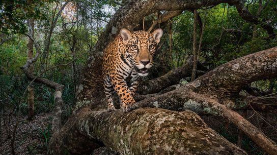 Una cámara remota captura un cachorro de jaguar de 10 meses en la región brasileña del ...