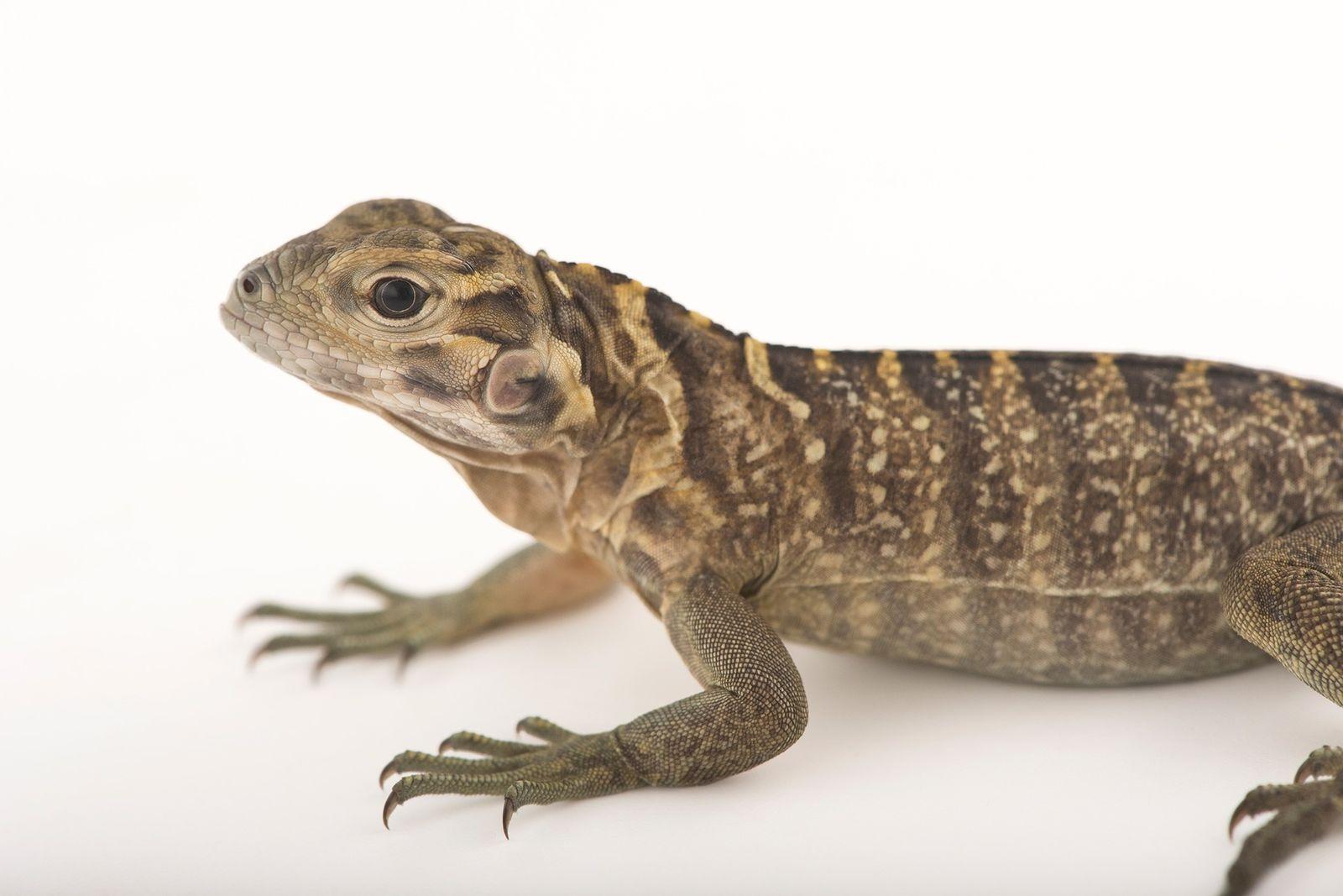 La iguana Cyclura collei en peligro crítico de extinción es el animal más grande nativo de ...