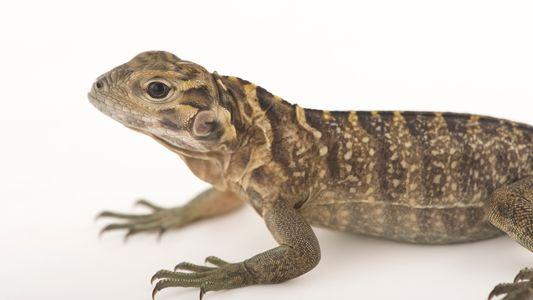 Iguana de Jamaica