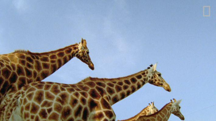 Las jirafas no son tan dóciles como piensas