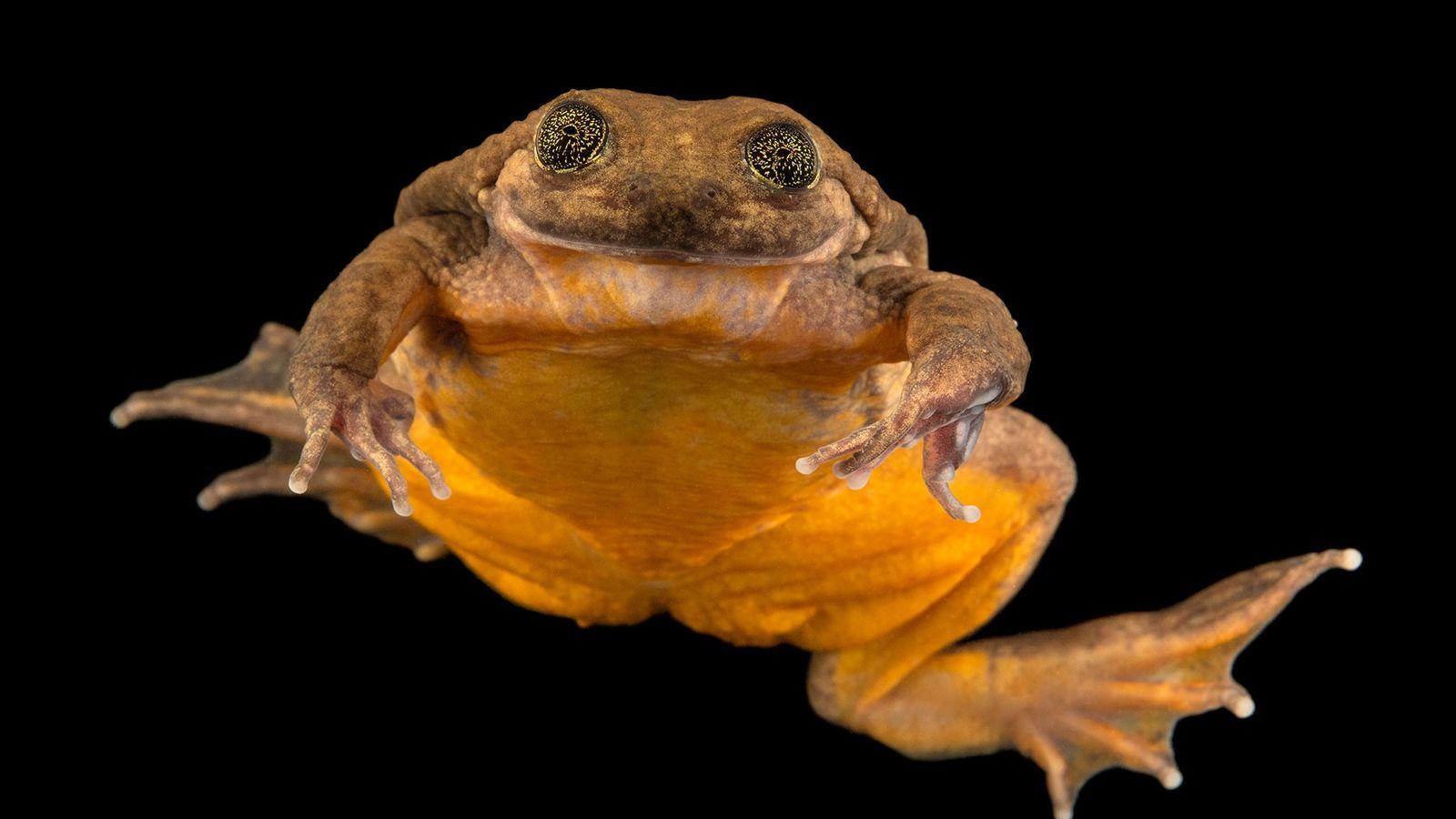 Julieta, una rana acuática de Sehuencas descubierta recientemente, parece sonreírle a la cámara en esta fotografía ...