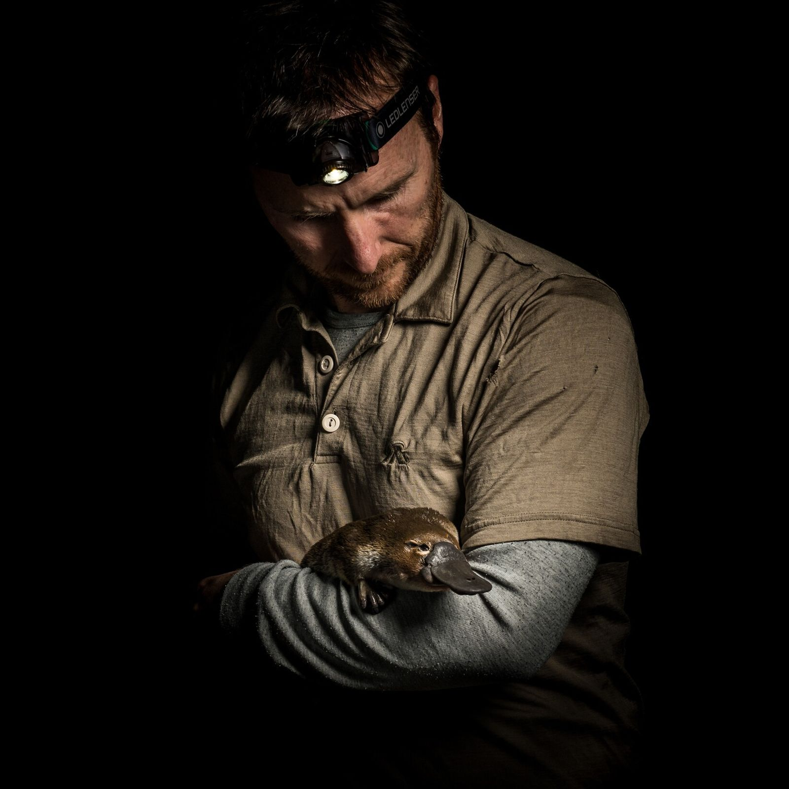 Josh Griffiths, investigador y ecólogo de ornitorrincos sostiene un ornitorrinco hembra que acaba de capturar. Los ...