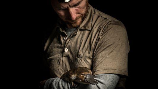 Los ornitorrincos están cada vez más cerca de la extinción