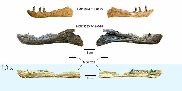 Una reconstrucción 3D de la mandíbula de embrión de tiranosaurio, en la parte inferior de la ...