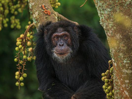 ¿Qué pueden enseñarnos los chimpancés salvajes sobre el envejecimiento saludable?