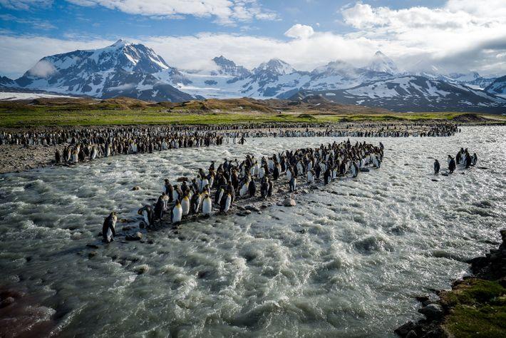 ISLA GEORGIA DEL SUR - Medio millón de pingüinos rey, cada uno de un metro de ...