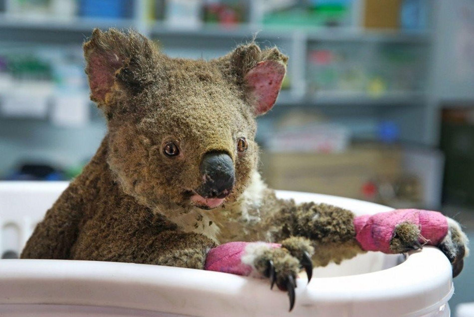 Un koala hembra al que los rescatadores han llamado Anwen recibe tratamiento en el Hospital de ...
