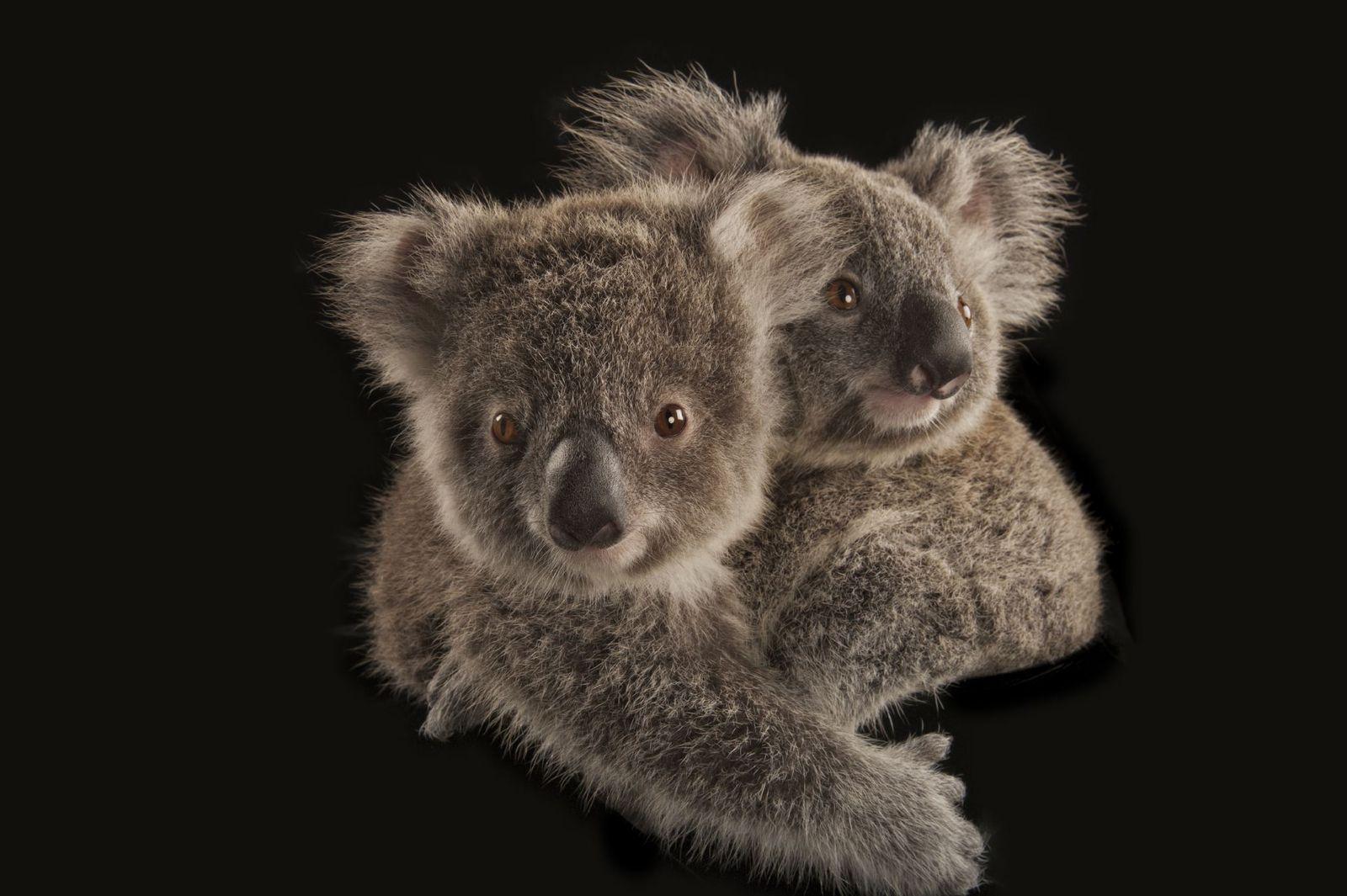 Un par de koalas fotografiados en el zoológico de Australia en Beerwah.