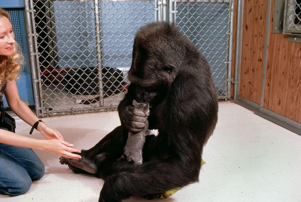 En esta foto, Koko agarra con cuidado y olfatea a su gatito amigo All Ball. Este ...