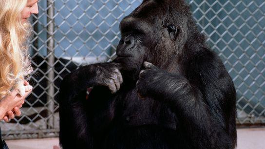 Patterson y Koko conversan usando el lenguaje de señas americano. Koko usó más de 500 señales ...