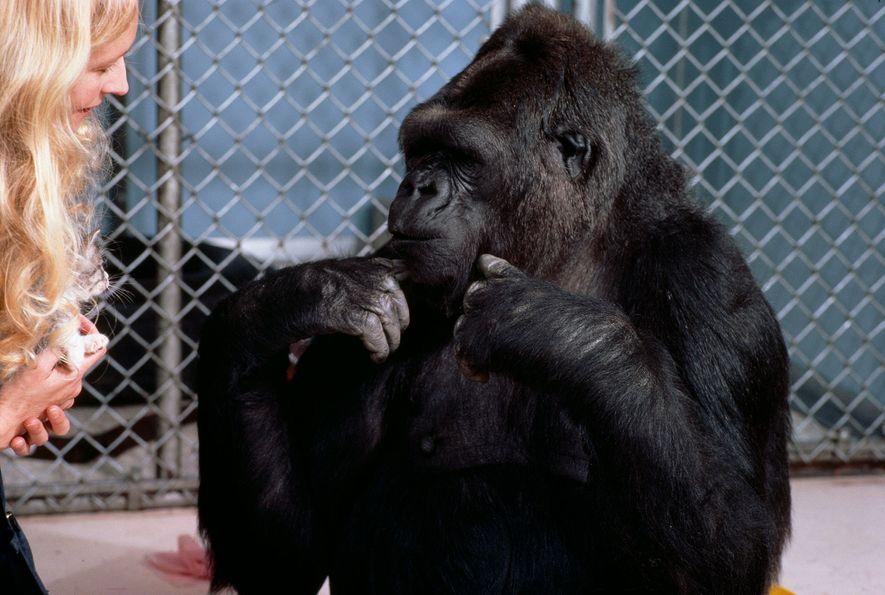 Patterson y Koko conversan usando el lenguaje de señas americano. Koko usó más de 500 señales …