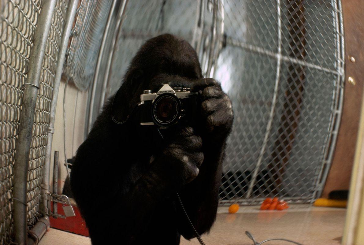 Koko toma un autorretrato, una imagen presentada en un número de 1978 de la revista National ...
