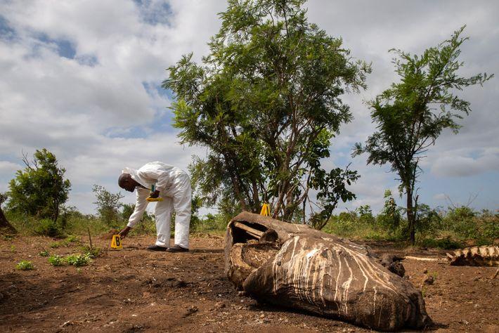 El servicio de Parques Nacionales de Sudáfrica (SANParks), que administra el Kruger, trabaja con expertos forenses ...