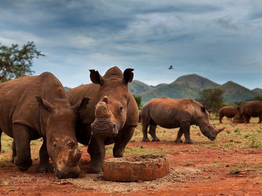 La mayor población de rinocerontes del mundo ha disminuido un 70% en la última década