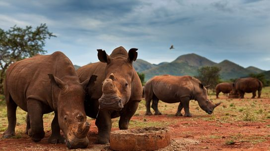 En las reservas privadas en Sudáfrica (como este rancho de caza de John Hume en Nelspruit) ...