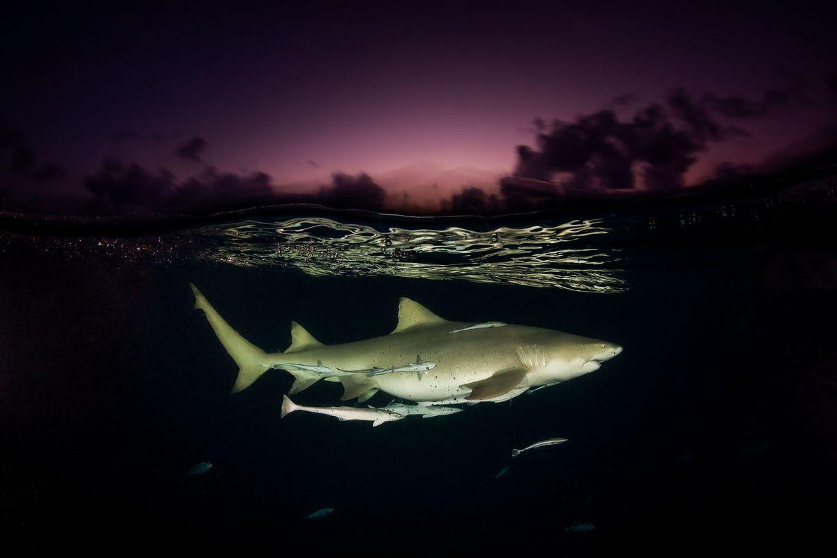 Tiburón limón. Las Bahamas.