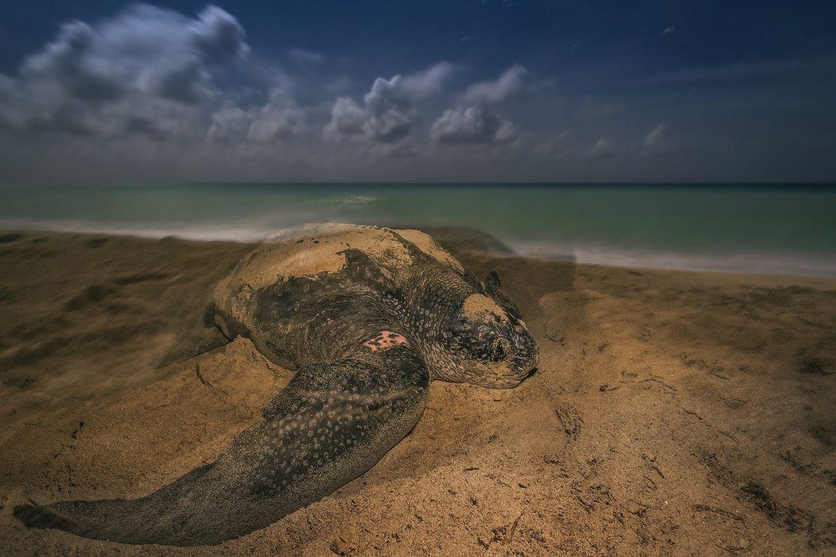 Una tortuga laúd pone sus huevos en el refugio nacional de fauna silvestre de Sandy Point ...
