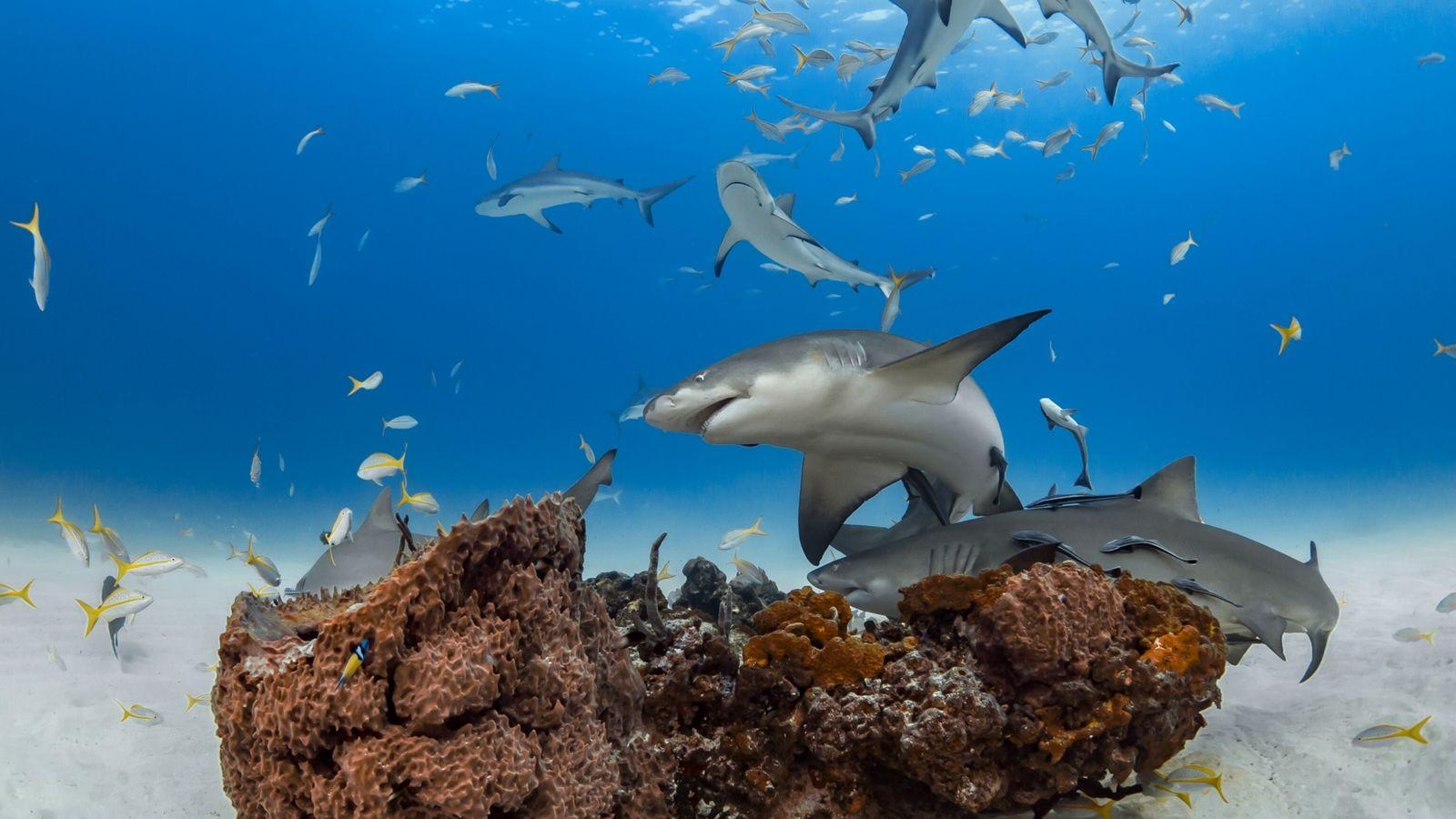 Los tiburones limón pueden mostrar ciertas personalidades, como sociables o distantes. (Arriba, los animales deambulan alrededor de ...