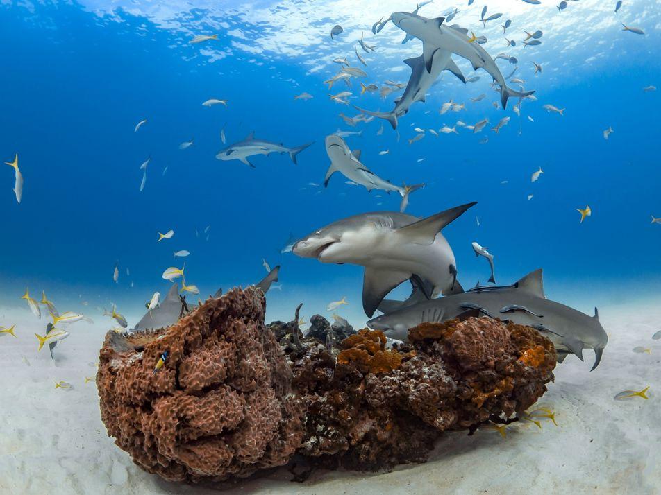 """Los tiburones forman """"amistades"""" de años, disipando el mito del """"tiburón solitario"""""""