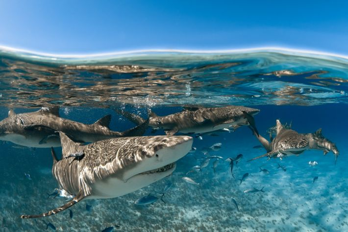 Los tiburones limón (vistos frente a la costa de Gran Bahama) buscan la compañía de otros ...